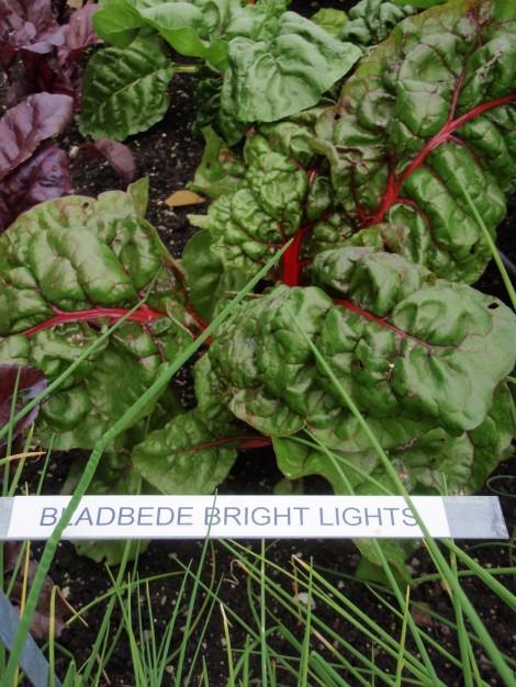 Bladbede Bright Lights